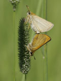 European Skipper Butterflies Mating (Thymelicus Lineola) Photographic Print by Robert Servrancky