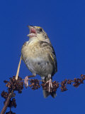 Grasshopper Sparrow Singing, Ammodramus Savannarum, Eastern USA Photographie par Joe McDonald