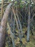 David Fleetham - Mangrove Prop Roots Exposed at Low Tide, Fiji, Pacific Ocean Fotografická reprodukce