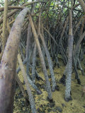 Mangrove Prop Roots Exposed at Low Tide, Fiji, Pacific Ocean Photographic Print by David Fleetham