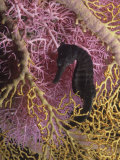 Seahorse, Hippocampus Kuda Photographic Print by David Fleetham