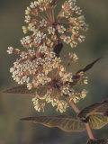 Pinewoods or Pink-Veined Milkweed (Asclepias Humistrata), Southern USA Photographic Print by Leroy Simon