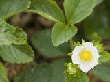 Strawberry Blossom (Frageria) Photographic Print