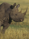 Black Rhinoceros Head, Diceros Bicornis, an Endangered Species, Kenya, Africa Photographic Print by Joe McDonald