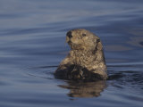 Sea Otter, Enydra Lutris, Surfacing from a Dive, California, Usa, Pacific Ocean Photographic Print by Jack Michanowski
