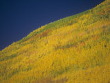Quaking Aspens in the Fall, Populus Tremuloides, Western North America Photographic Print by Doug Sokell