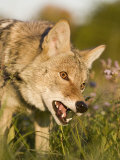 Coyote Snarling and Showing its Teeth (Canis Latrans) Photographic Print by Steve Maslowski
