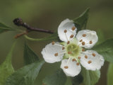 Hawthorn or Yellow Haw Flower (Crataegus Flava), Southern USA Photographic Print by Leroy Simon