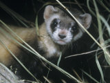 Black-Footed Ferret (Mustela Nigripes), a Highly Endangered Species of North American Mammal Photographic Print by Ken Lucas