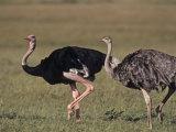Ostrich Pair (Struthio Camelus Massaicus), Masai Mara Game Reserve, Kenya, Africa Photographic Print by Rob & Ann Simpson