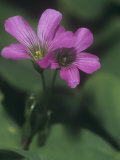 Violet Wood Sorrel Flowers (Oxalis Violacea), Eastern North America Photographic Print by Leroy Simon