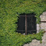 Boston Ivy (Parthenocissus Tricuspidata) Framing a Dark Barn Hay Door, France, Europe Photographic Print by Nigel Cattlin
