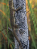 Mediterranean Gecko (Hemidactylus Turcicus), Introduced into the Southern USA Photographic Print by Gary Meszaros