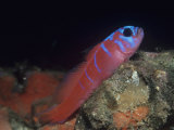 Blue-Banded Goby, Lythrypnus Dalli, California, USA Photographic Print by David Wrobel