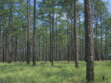 Longleaf Pine, Pinus Palustris, Forest and Savanna, Southeastern USA Photographic Print by David Sieren