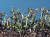 Lichen, Cladonia Verticillata, North America Photographic Print by Ken Wagner
