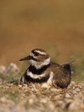 Killdeer Incubating Eggs on its Nest, Charadrius Vociferus, North America Photographie par Joe McDonald