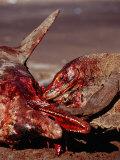 Komodo Dragons Eating Dead Dolphin, Varanus Komodoensis, Rinca, Komodo National Park, Indonesia Photographic Print by Reinhard Dirscherl