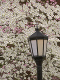 Lamp and Flowering Dogwood Tree, Cornus Florida, Audubon Neighborhood, Louisville, Kentucky, USA Photographic Print by Adam Jones