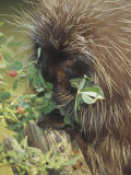Porcupine, Erethizon Dorsatum, Eating Plants, North America Photographic Print by Joe McDonald