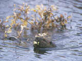 Beaver Swimming with Recently Cut Branch Gathered for Food (Castor Canadensis), North America Photographic Print by Tom Walker