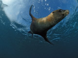 South African Fur Seal Swimming (Arctocephalus Pusillus Pusillus), South Africa Photographic Print by Reinhard Dirscherl