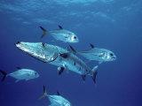 A Great Barracuda (Sphyraena Barracuda) Surrounded by Jacks Fotografisk tryk af Marty Snyderman
