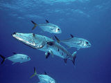 A Great Barracuda (Sphyraena Barracuda) Surrounded by Jacks Photographic Print by Marty Snyderman
