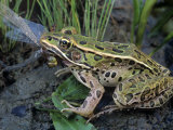 Northern Leopard Frog (Rana Pipiens) Eating a Dragonfly Photographic Print by Gary Meszaros