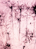 Neurons of the Cerebral Cortex Showing the Dendrites, Cell Bodies, and Axons Photographic Print by John D. Cunningham