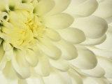 Close-Up of a White Chrysanthemum Flower Reproduction photographique par Adam Jones