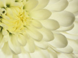 Close-Up of a White Chrysanthemum Flower Photographic Print by Adam Jones