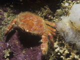 Cancer Crab, Cancer Branneri, British Columbia, Canada, Pacific Ocean Photographic Print by Daniel Gotshall