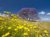 Jacaranda Tree in Bloom in a Field of Wildflowers (Jacaranda Mimosifolia), Maui, Hawaii Photographic Print by David Fleetham