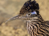Greater Roadrunner Head, Geococcyx Californianus, Arizona, USA Photographic Print by Joe McDonald