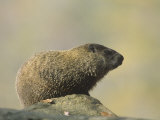 Woodchuck or Groundhog (Marmota Monax), North America Photographic Print by Steve Maslowski