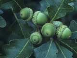 Gambel Oak Tree Leaves and Acorns, Quercus Gambelii, Southwestern North America Photographic Print by Doug Sokell