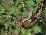 Northern Mockingbird (Mimus Polyglottos), North America Photographic Print by Steve Maslowski