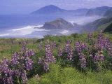 Lupines, Lupinus, and the Rocky Oregon Usa Coastline Near Nesika Beach Photographic Print by Adam Jones
