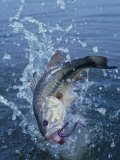 Largemouth Bass with Plastic Worm Jumping Photographic Print by Wally Eberhart