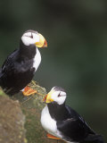Horned Puffins, Fratercula Corniculata, St. Paul Island, Pribilof Islands, Alaska, USA Reproduction photographique par Arthur Morris
