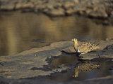Black-Faced Sand Grouse Drinking at a Waterhole, Pterocles Decoratus, Samburu, Kenya, Africa Photographic Print by Joe McDonald