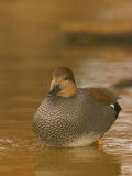 Male Gadwall Duck, Anas Strepera, North America Photographic Print by Jack Michanowski