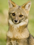 A Patagonian Gray Fox, Pseudalopex Griseus or Dusicyon Griseus, Patagonia, South America Photographic Print by Joe McDonald