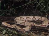 Southern Copperhead, Agkistrodon Contortrix, Southeastern USA Photographic Print by Joe McDonald