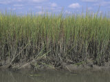 Saltmarsh Cordgrass, Spartina Alterniflora, Atlantic Coast, USA Photographic Print by Jack Dermid