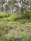 Karner Blue Butterfly Habitat Pine Barrens with Pitch Pine Trees and Wild Lupines Photographic Print