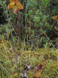 Northern Pitcher Plant in Flower, Sarracenia Purpurea, Pine Barrens Bog, New Jersey, USA Photographic Print by Joe McDonald