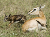 A Thomson&#39;s Gazelle with its Newborn Fawn, Gazella Thomsonii, East Africa Photographic Print by Joe McDonald
