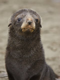 Antarctic Fur Seal (Arctocephalus Gazella) Pup Face, South Georgia Photographic Print by Don Grall